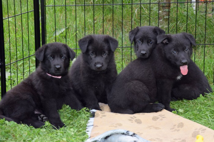 Puppies 5 w.old